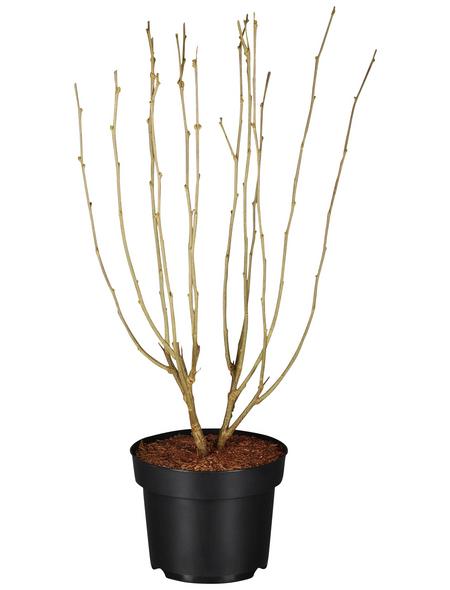 GARTENKRONE Garteneibisch Hibiscus syriacus »China Chiffon -R-«