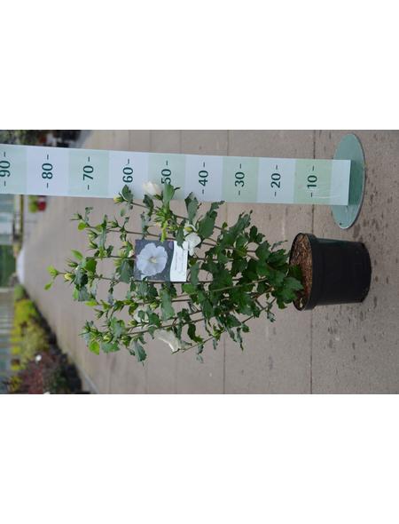 GARTENKRONE Garteneibisch Hibiscus syriacus »Diana«
