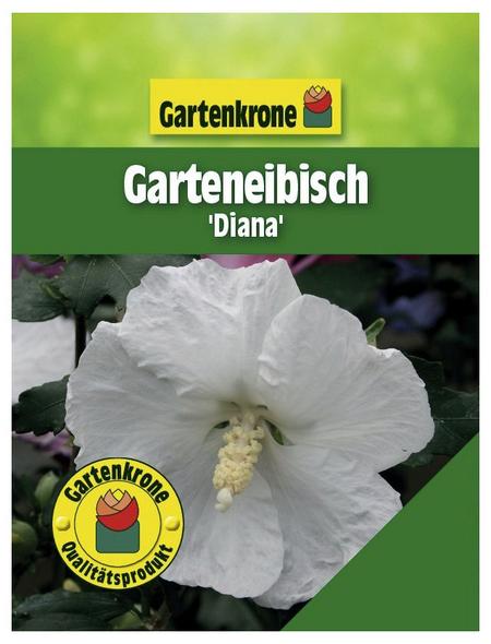 GARTENKRONE Garteneibisch, Hibiscus syriacus »Diana«, weiß, winterhart