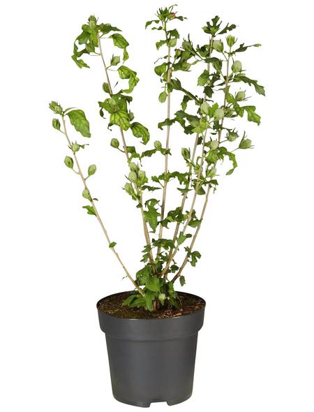 GARTENKRONE Garteneibisch Hibiscus syriacus »Hamabo«