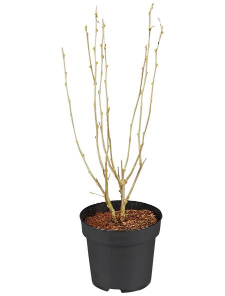 GARTENKRONE Garteneibisch Hibiscus syriacus »Lavender Chiffon -R-«