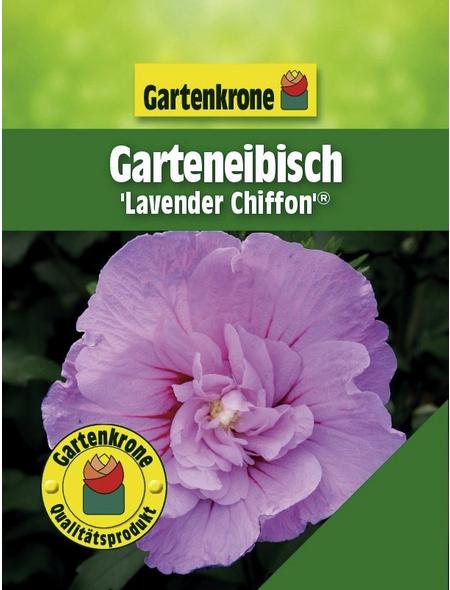 GARTENKRONE Garteneibisch, Hibiscus syriacus »Lavender Chiffon «, zweifarbig, winterhart