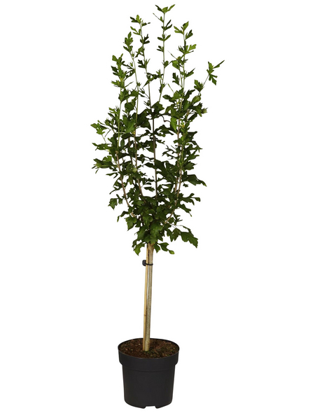 GARTENKRONE Garteneibisch, Hibiscus syriacus »Marina«, hellblau, winterhart
