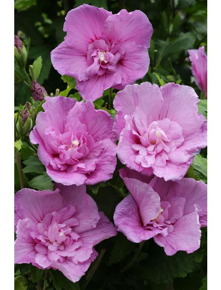 Garteneibisch, Hibiskus syriacus »Lavender Chiffon«, Blütenfarbe blau
