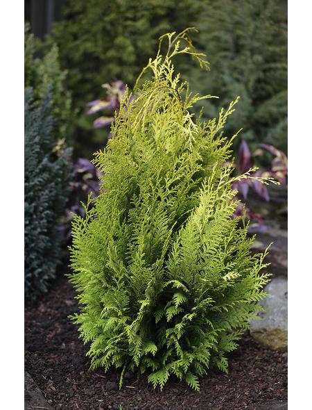 Gartenzypresse Chamaecyparis Chamaecyparis »Ivonne«