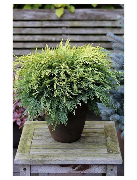 Gartenzypresse lawsoniana Chamaecyparis »Sunkist«