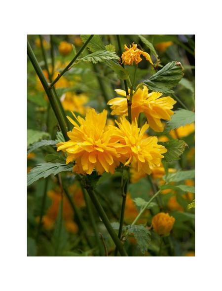 GARTENKRONE Gefüllter Ranunkelstrauch, Kerria japonica »Pleniflora«, gelb, winterhart