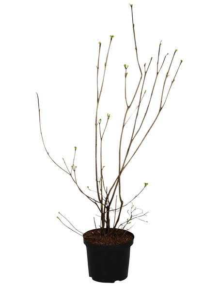 GARTENKRONE Gefüllter Schneeball Viburnum opulus »Roseum«