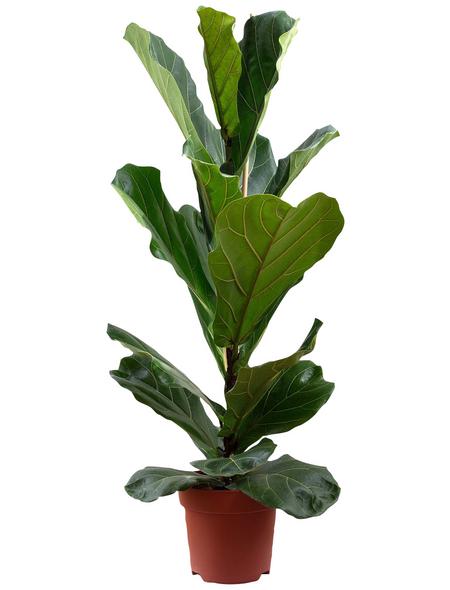 Geigenfeige, Ficus lyrata, im Kunststoff-Kulturtopf