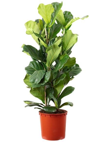 Geigenfeige, Ficus Lyrata, Topf-Ø: 34cm