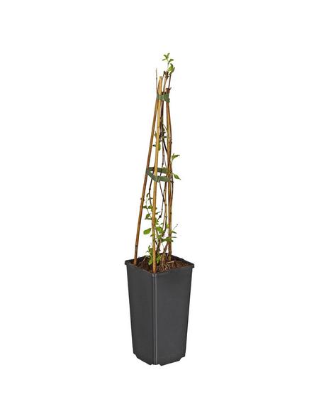 GARTENKRONE Geißblatt Lonicera brownii »Dropmore Scarlet«