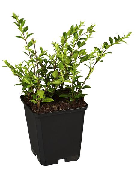 GARTENKRONE Geißblatt, Lonicera nitida »Moss Green«, creme, winterhart