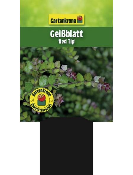 GARTENKRONE Geißblatt, Lonicera nitida »Red Tip«, creme, winterhart