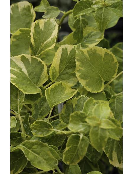 Gelbbunte Kletterhortensie Hydrangea petiolaris 'Miranda' ® Hydrangea  »Miranda«