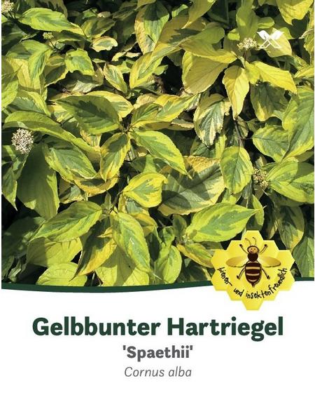 Gelbbunter Hartriegel, Cornus alba »Spaethii«, Blütenfarbe weiß