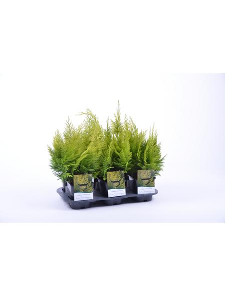 GARTENKRONE Gelbe Gartenzypresse Chamaecyparis lawsoniana »Ivonne«