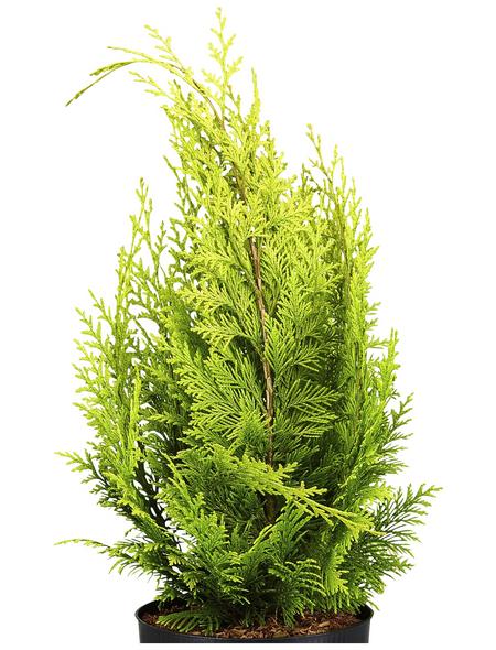 GARTENKRONE Gelbe Gartenzypresse, Chamaecyparis lawsoniana »Ivonne«, winterhart