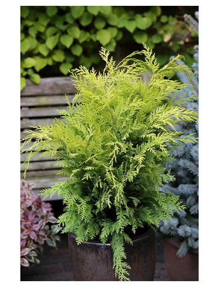 Gelbe Gartenzypresse lawsoniana Chamaecyparis »Stardust«