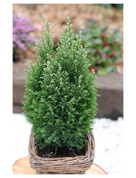 Gelbweiße Gartenzypresse lawsoniana Chamaecyparis »Snow White«