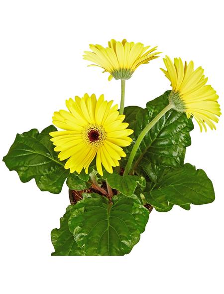 GARTENKRONE Gerbera, Gerbera hybrid, Blüte: gelb