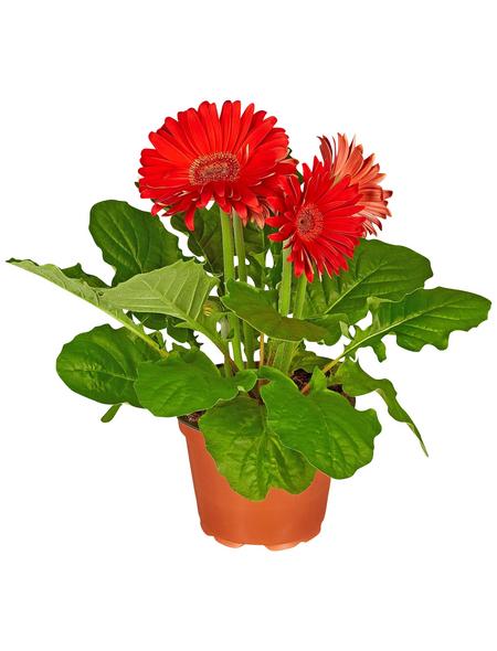 GARTENKRONE Gerbera, Gerbera hybrid, Blüte: rot