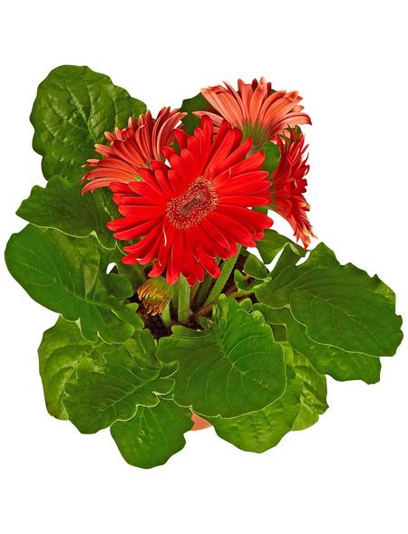 GARTENKRONE Gerbera »Gerbera Hybrid«, Rot