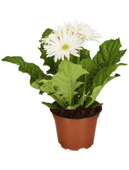 GARTENKRONE Gerbera »Gerbera Hybrid«, Weiß