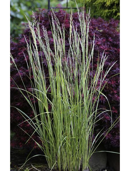 Gestreiftblättriges Garten-Reitgras acutiflora Calamagrostis »Overdam«