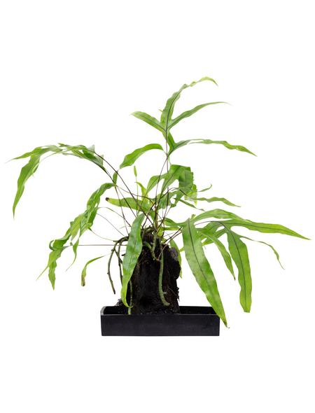 flowerbox Geweihfarne, Platycerium ,