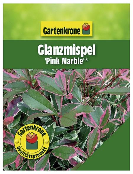 GARTENKRONE Glanzmispel, Photinia fraseri »Pink Marble «, weiß, winterhart