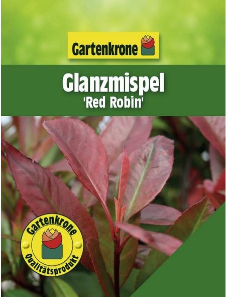 GARTENKRONE Glanzmispel, Photinia fraseri »Red Robin«, weiß, winterhart