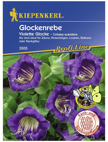 KIEPENKERL Glockenrebe, Cobaea scandens, Samen, Blüte: lila