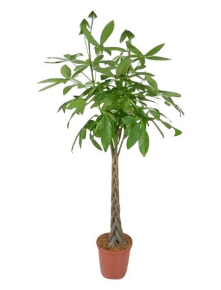 Gluecksbaum, Pachira aquatica,