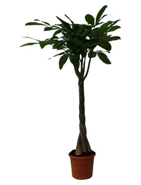 Glücksbaum, Pachira aquatica,