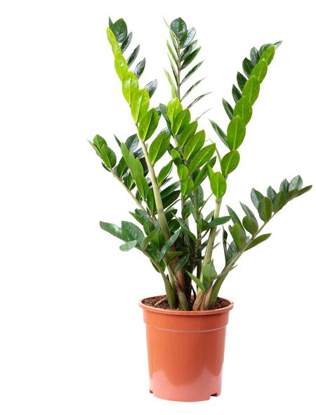 Glücksfeder Zamioculcas zamiifolia