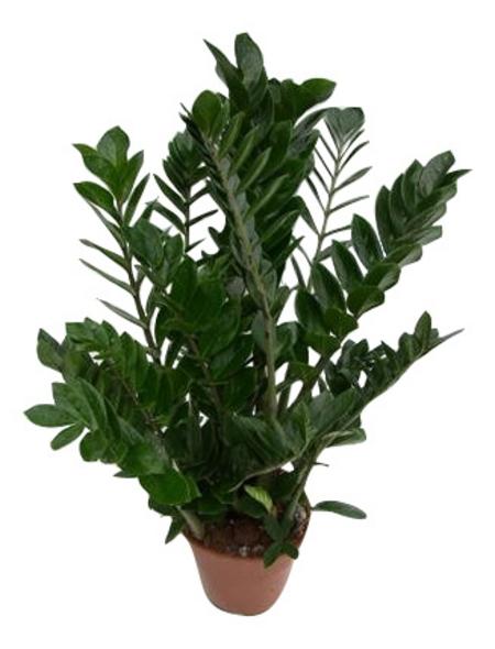 Glücksfeder, Zamioculcas zamiifolia,