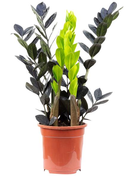 Glücksfeder, Zamioculcas zamiifolia, im Kunststoff-Kulturtopf