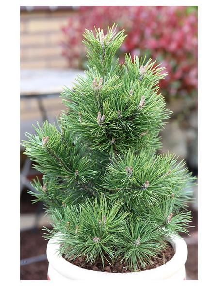 Gnomkiefer mugo Pinus »Gnom«