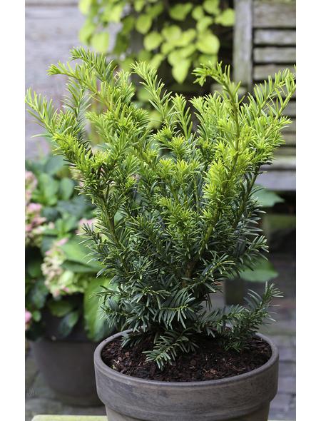 Gold-Eibe baccata Taxus »Semperaurea«
