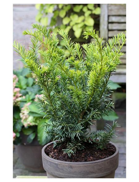 Gold-Eibe, Taxus baccata »Semperaurea«, Blattfarbe grün