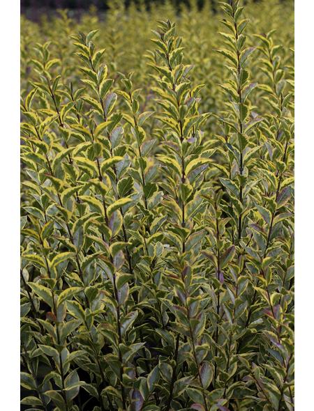Gold-Liguster, Ligustrum ovalifolium »Aureum«, Blütenfarbe cremeweiß