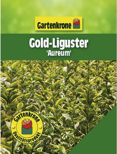 GARTENKRONE Gold-Liguster, Ligustrum ovalifolium »Aureum«, winterhart