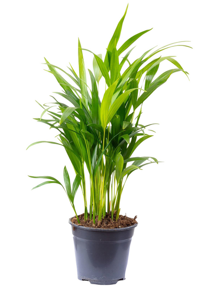 Goldfruchtpalme Dypsis lutescens