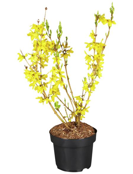 GARTENKRONE Goldglöckchen Forsythia intermedia »Goldrausch«