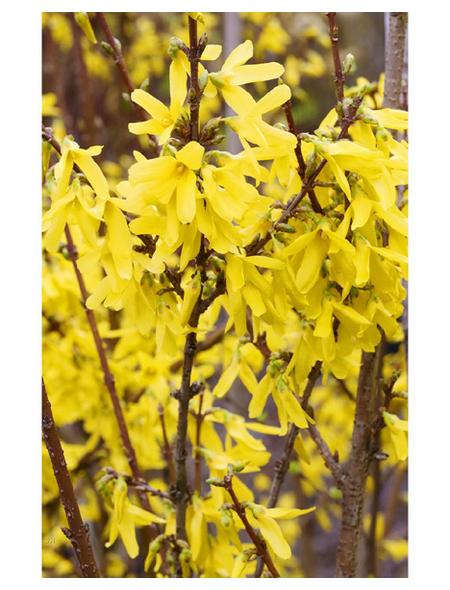 Goldglöckchen, Forsythia intermedia »Lynwood«, Blütenfarbe gelb