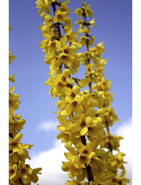 Goldglöckchen, Forsythia intermedia »Mikador «, Blütenfarbe goldgelb