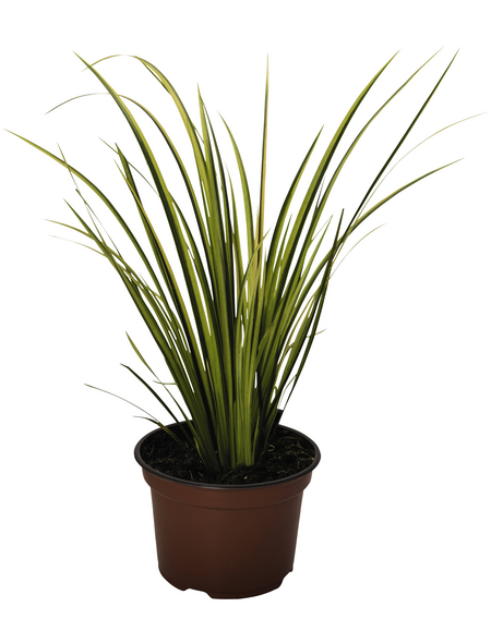 Gräser Elegras, aktuelle Pflanzenhöhe: 25-30 cm, mehrfarbig