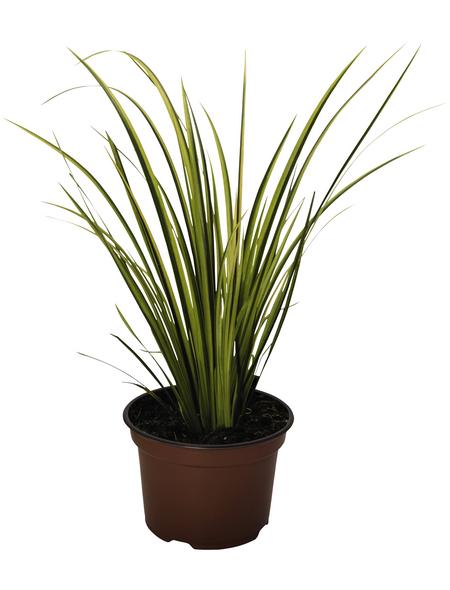 Gräser Elegras, aktuelle Pflanzenhöhe: 25 cm - 30 cm, mehrfarbig