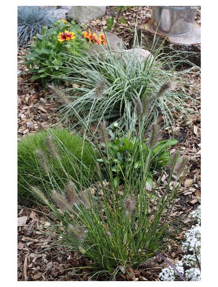 Gräser, »in Sorten«, aktuelle Pflanzenhöhe: 10-30 cm, mehrfarbig