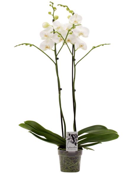 Großblumige Schmetterlingsorchidee, Phalaenopsis Hybriden, Blüte: weiß
